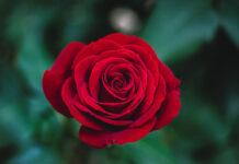 Na co zwrócić uwagę przy pielęgnacji róż